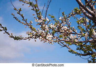 Blooming cherry tree - Blooming branches of a cherry tree...