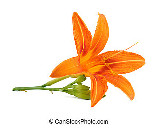 Lily flower isolated on white background
