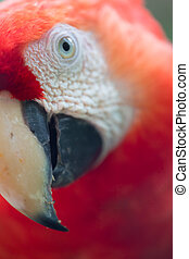 Detail of Scarlet Macaw - A beautiful detail of a Scarlet...