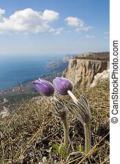 Flowers Pulsatilla patens - Flowers Pulsatilla patens on a...