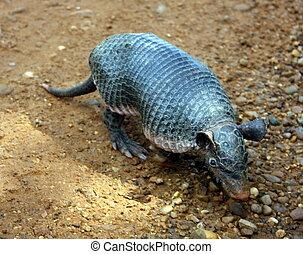 armadillo - baby armadillo