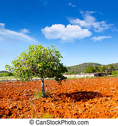 Ibiza mediterranean agriculture with fig tree on red clay...