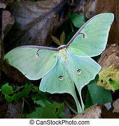 Luna moth resting on the forest floor