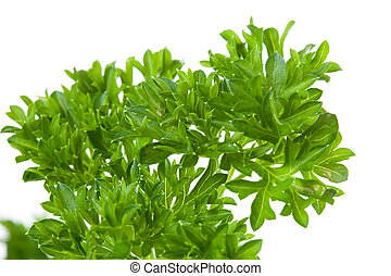 plant of parsley in closeup over white background