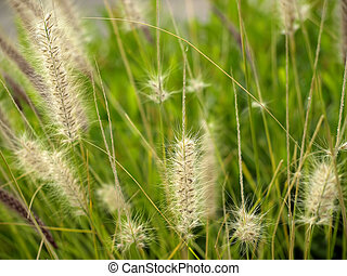 Cereal Plant - Detail of grass in a Mediterranean field