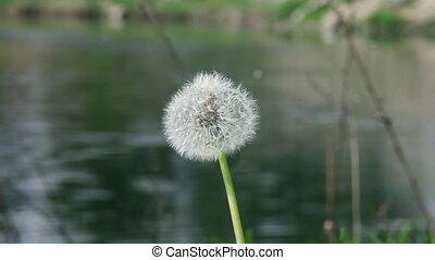 fluffy dandelion - one fluffy dandelion on the coast