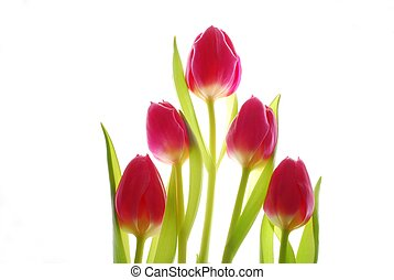 red tulips - Close-up of colourful spring tulips against...