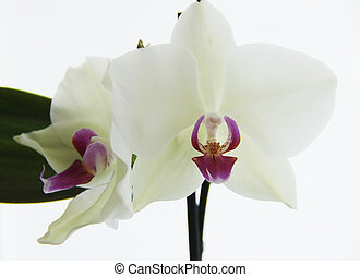 White orchid close up. Photo taken on 22th June,2012.