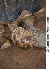 Tortoise - Cute tortoise, close-up in costa rica