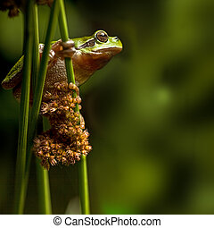 European tree frog at night crawling in vegetation,...