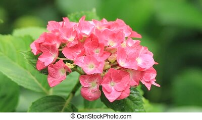 hydrangea - I took the state that a red hydrangea shook for...