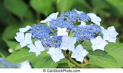 hydrangea - I took the state that a hydrangea shook for...