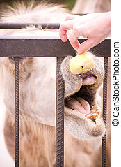 Camel shows some teeth seems and eating apple