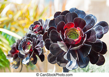 alpine succulent - A burgundy red colored alpine succulent...