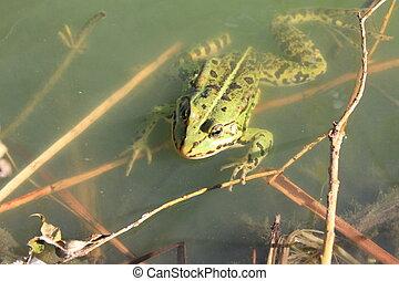 Green frog close-up