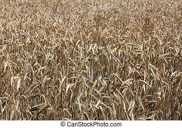 grain field for a beautiful backdrop