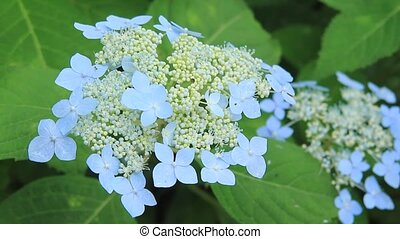 hydrangea - I took it when a hydrangea shook for wind.