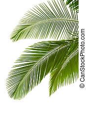 Foglie, palma, albero