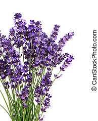 Lavender flowers against white background Isolated object