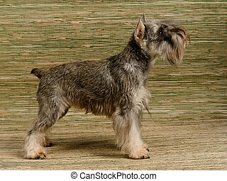 Zwergschnauzer show stack, side view