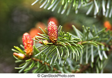 Spring flowers on Spruce or Picea abies - Flowers in spring...