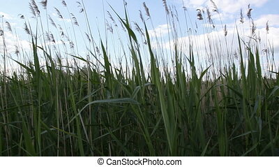 Dry Reed against the sky