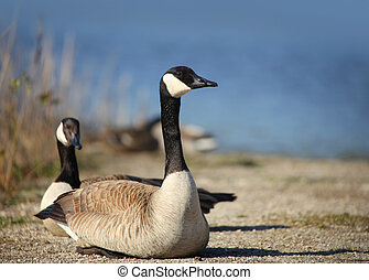 Wild goose - Two wild goose by the lake