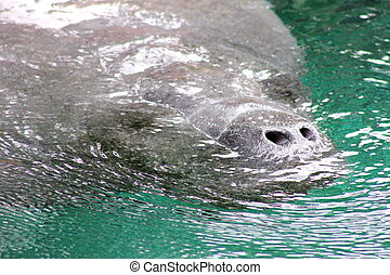 West Indian Manatee - Closeup of a west Indian manatee,...