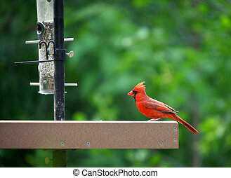 Cardinal - Young  Cardinal bird on the feeder