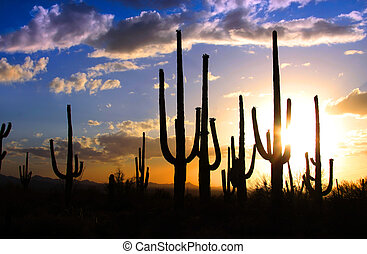 Saguaro national park - Sun set and Saguaro cactus in...