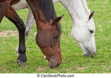 Two Horses - Two horses grazing together