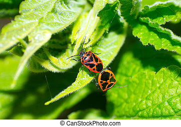 bug - The two bugs are mating