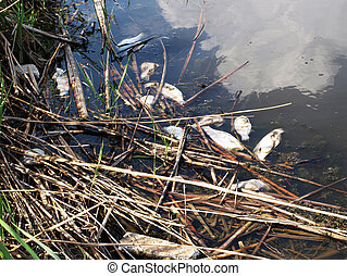 Intoxicated dead fish - Dead fish in the polluted water