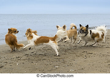 chihuahuas on the beach - four chihuahuas running on the...