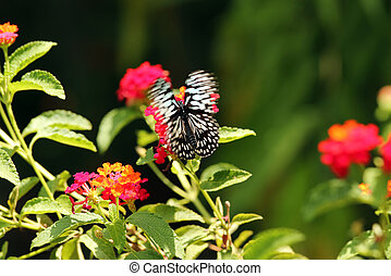 Beautiful black and white spotted Papilio butterfly flying...