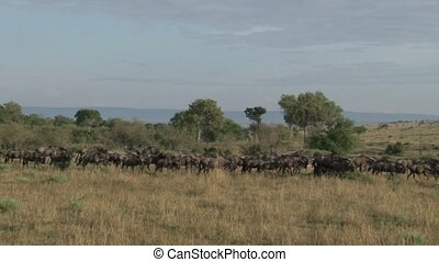 Wildebeest - Herd of Wildebeests walking over grassland...