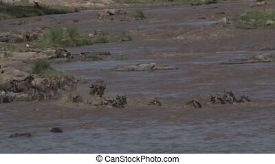 Wildebeest - Herd of Wildebeests crossing the Mara river
