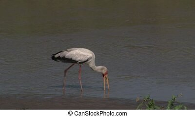 Yellow-billed Stork foraging in water