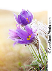 Beautiful purple flowers, dream herb (Pulsatilla patens)