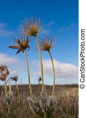 Pulsatilla patens after flowering