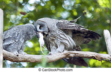 Great Grey Owl feeders young owl on the tree