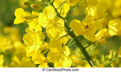 Rape seed flowering close up - Rape seed flowering on a...