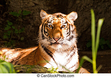 Tiger eyes - Portrait of a tiger looking at the camera