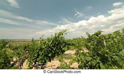 DOLLY: Summer Vineyard - Rows of grapevines in the vineyard....