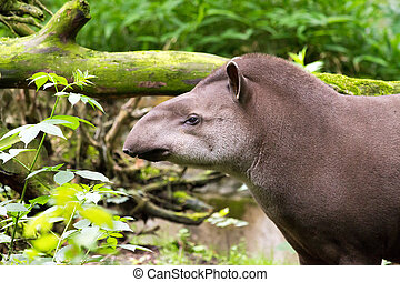 Brazilian tapir is having a bad day
