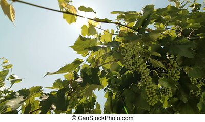 Green Grapes Against The Sun