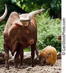 hog vs watusi - Red river hog harassing a Ankole-Watusi