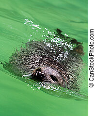 harbour seal Phoca vitulina - Harbour seal Phoca vitulina in...