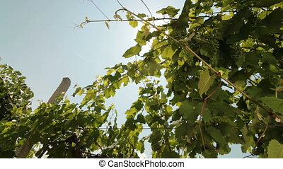 Green Unripe Grapes on the Vine Against the Sun