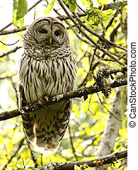 Wild Barred Owl - I was busy with yard work and happened to...